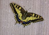 Butterfly swallowtail (papilio machaon) pic.