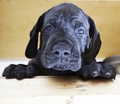 stock photo of puppy dog face  - Black Great Dane puppy with a sad look on its face - JPG