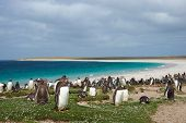 foto of falklands  - Thousands of Gentoo Penguins  - JPG