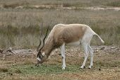 pic of veld  - An endangered Addax grazes on the savannah - JPG