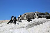 foto of jackass  - Jackass or African Penguins  - JPG