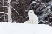 stock photo of arctic fox  - An Arctic Fox in a winter scene