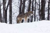 image of coyote  - A lone coyote in a winter scene