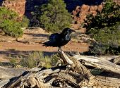 stock photo of raven  - Raven Perched on Dead Tree Stump Canyonlands National Park Utah - JPG