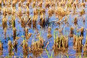 image of ooze  - Rice stubble in rice field - JPG