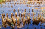 picture of ooze  - Rice stubble in rice field - JPG