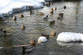 foto of duck pond  - The ducks floating in a winter pond - JPG