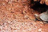 stock photo of tortoise  - giant turtle or tortoise from Galapagos Ecuador - JPG