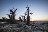 picture of baobab  - Baobab trees on the edge of a large salt pan  - JPG