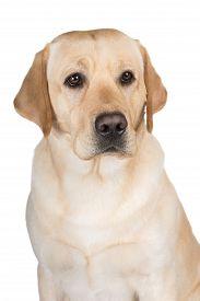 image of labrador  - yellow labrador retriever breed dog on white - JPG