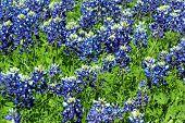 picture of bluebonnets  - Bluebonnets in full bloom - JPG