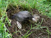 stock photo of mole  - A Townsend - JPG