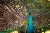 stock photo of peahen  - Portrait of beautiful peacock with feathers out - JPG