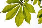 stock photo of chestnut horse  - Translucent horse chestnut textured green leaves in back lighting on white background with sun shine flare  - JPG