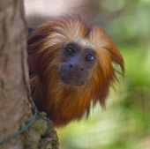 picture of lions-head  - Gold Headed Lion Tamarin - JPG