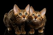 foto of kitty  - Two Bengal Kitty Looking in Camera on Black Background - JPG