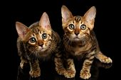 image of kitty  - Two Bengal Kitty Looking in Camera on Black Background - JPG