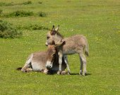 picture of donkey  - New Forest Hampshire England UK mother and baby donkey cuddling in the summer sunshine - JPG