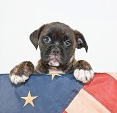 stock photo of bulldog  - Cute Bulldog puppy with his paws up on an American flag on a white background with copy space - JPG