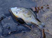 image of freshwater fish  - dead freshwater fish perch South Bohemia Czech Republic - JPG
