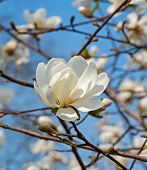 stock photo of magnolia  - Flowering white magnolia in early spring in city park - JPG