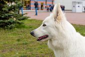 pic of swiss shepherd dog  - The White Shepherd is in the park on the grass - JPG