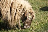 stock photo of eat grass  - animal white sheep in the field eating grass   - JPG