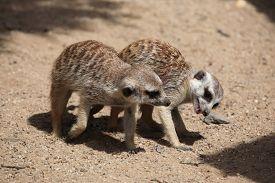 picture of meerkats  - Two Meerkats  - JPG