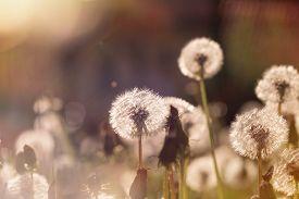 foto of dandelion seed  - Soft focus on dandelion seeds  - JPG