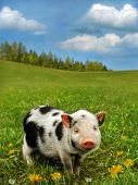 stock photo of hooters  - Cute piglet on spring meadow - JPG