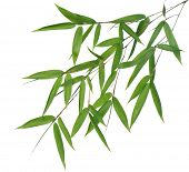 picture of bamboo leaves  - branch of bamboo - JPG