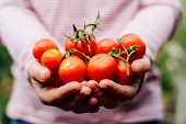 Постер, плакат: Farmers Hands With Freshly Harvested Tomatoes And Pepper Freshl