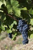 Close Up Of Ripe Red Grapes Ready For Autumn Harvest poster