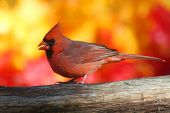 picture of cardinals  - Male Northern Cardinal  - JPG