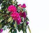 Pink Rhododendron Flowers Isolated On White Background With Copy Spacepink Rhododendron Flowers Isol poster