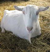 picture of saanen  - A bearded Saanen goat rests quietly in straw strewn on the floor of the barn - JPG