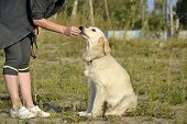 The Dog Performs The Commands Of The Owner. Labrador Retriever. Obedient Puppy. Puppies Education, C poster