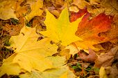 Fall Leaves Background.background Of Colored Wet Autumnal Maple Leaves In A Park.autumn Orange Leave poster