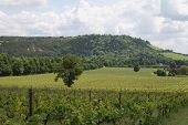 stock photo of dork  - View over grapevines at vineyard on the North Downs - JPG