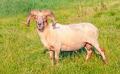 Male Mouflon Sheep Posing In A Dutch Meadow