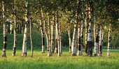 stock photo of birchwood  - Beautiful landscape with the sun and shades in a birchwood - JPG