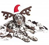 stock photo of deer horn  - dalmatian dog with rain deer horn and santa hat - JPG
