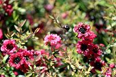 pic of plant species  - Leptospermum ornamental garden plant flower close - JPG