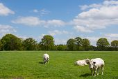 White Cows In Rural Dutch Landscape