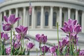 Washington DC - tulips in front of the Capitol building in spring