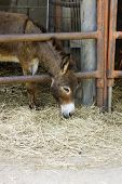pic of headstrong  - Young donkey behind the bars in the farm - JPG