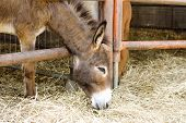 image of headstrong  - Young donkey behind the bars in the farm - JPG