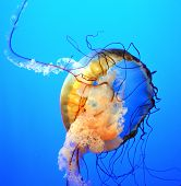 stock photo of splayed  - The tentacles of a jellyfish splay in all directions - JPG
