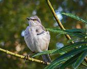 image of mockingbird  - Mockingbird sits on bamboo during Florida morning - JPG