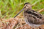 pic of snipe  - African snipe in wetland looking for food green grass water - JPG